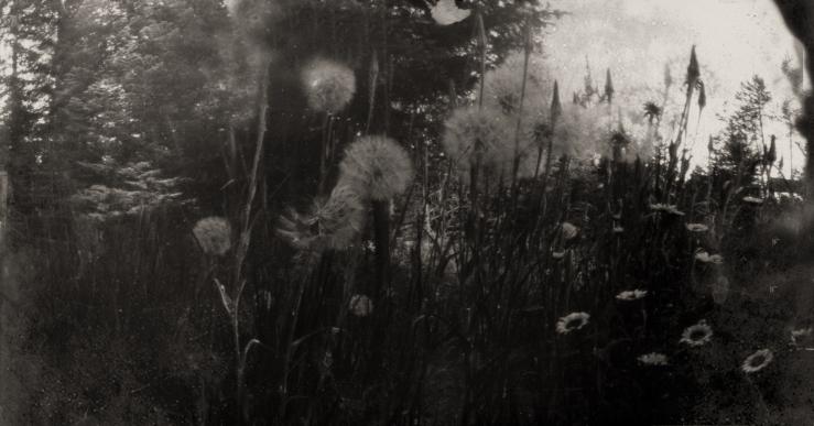 milkweed & daisies